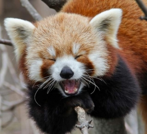 This Red Panda laughs at your insecurities